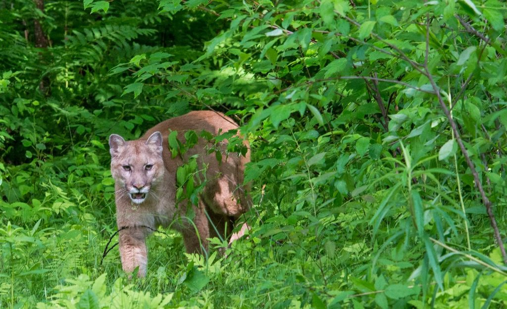 Cougar prowling through the bushes