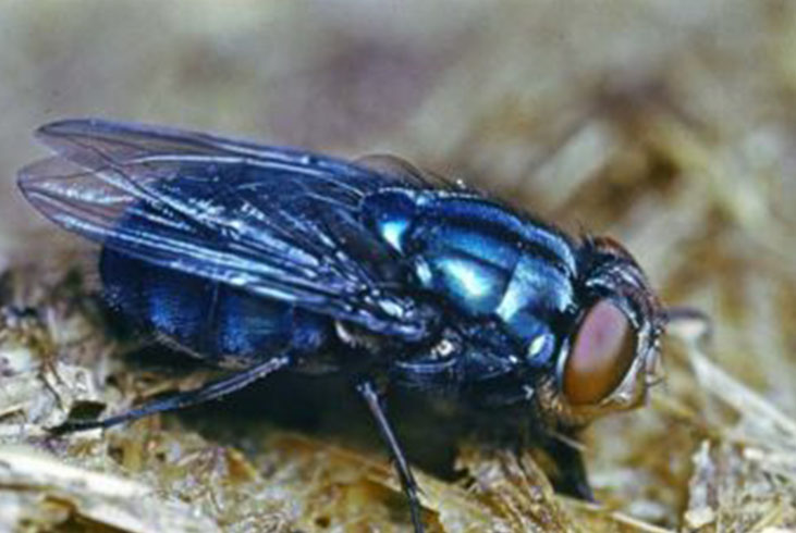 Blue horse fly